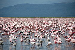250px-Large_number_of_flamingos_at_Lake_Nakuru