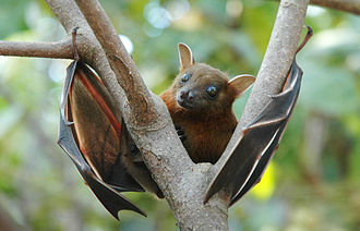 330px-Lesser_short-nosed_fruit_bat_(Cynopterus_brachyotis)