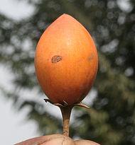 மகிழம் பழம்